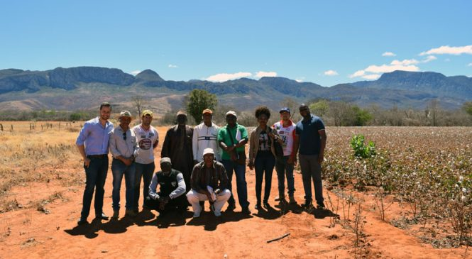 África usará modelo do Norte de Minas para algodão